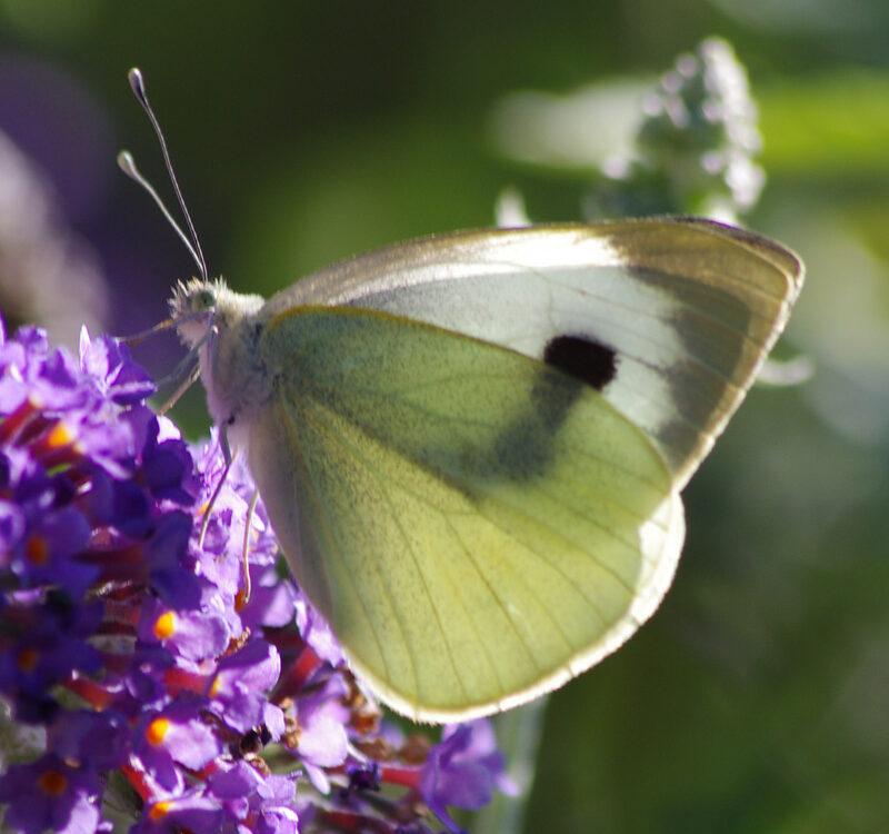 Butterflies species f 2 ed