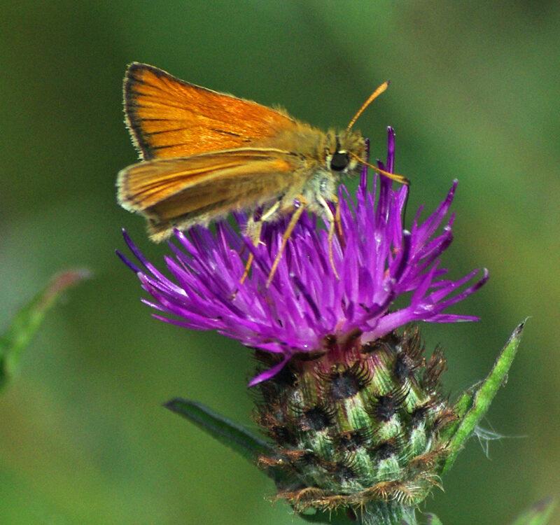 Butterfly Species e 1 ed
