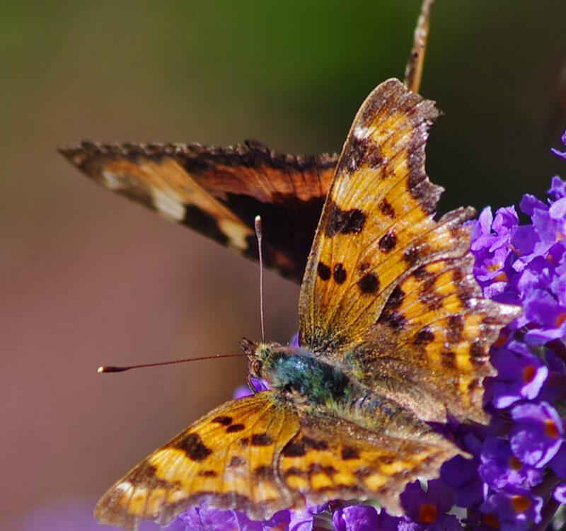 Butterfly species K ed