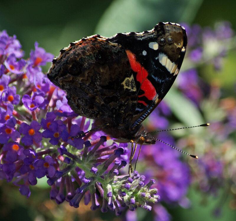 Butterfly species b ed
