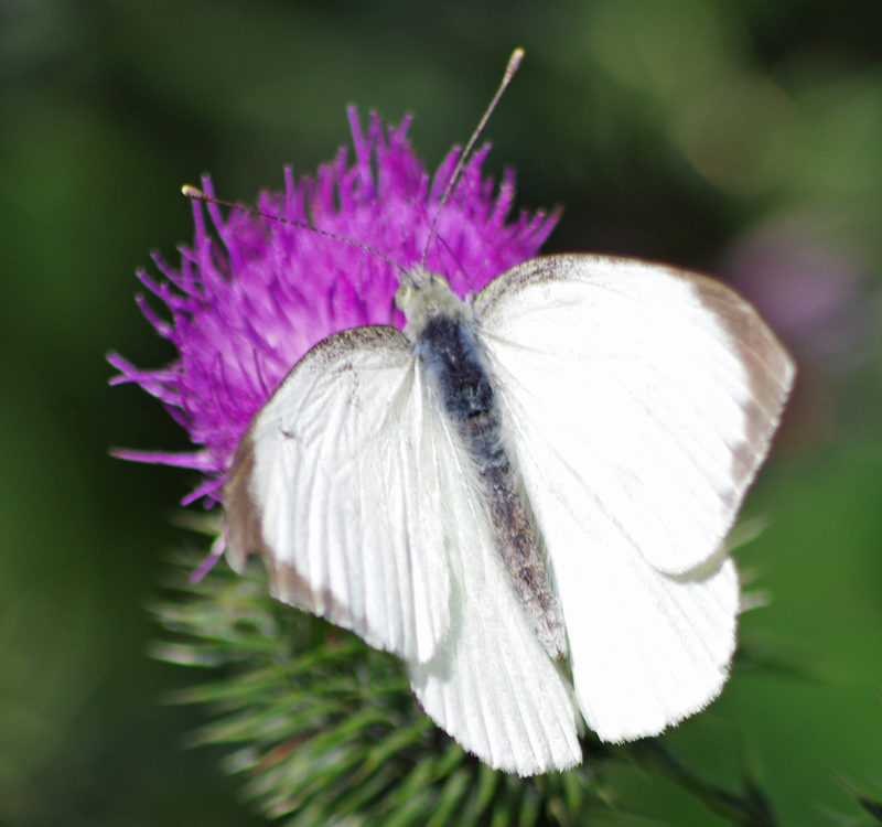 Butterfly species h ed