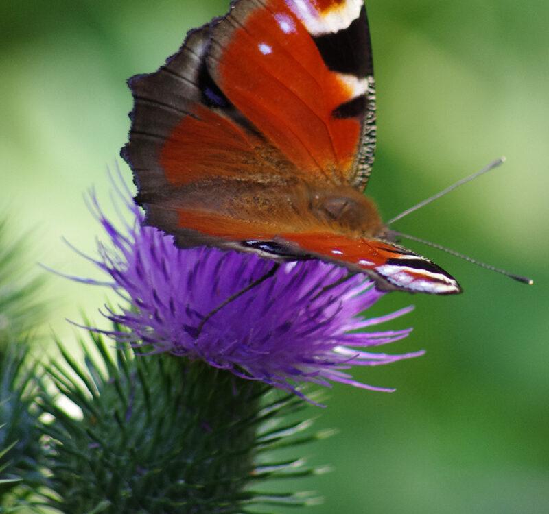 Butterfly species i ed
