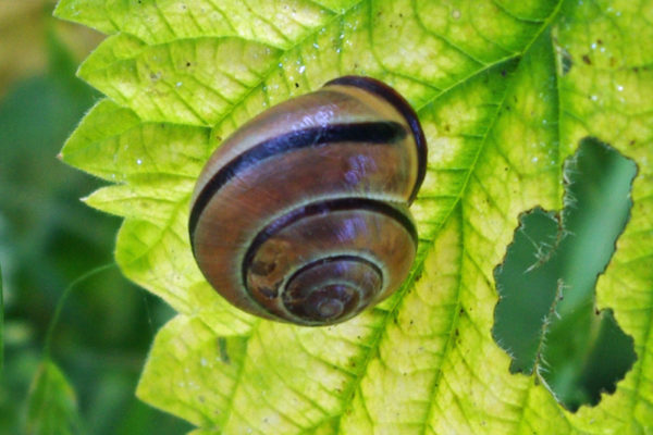 Great pond snail edited