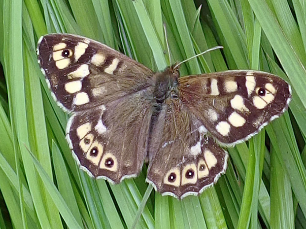 Speckled wood butterfly ws