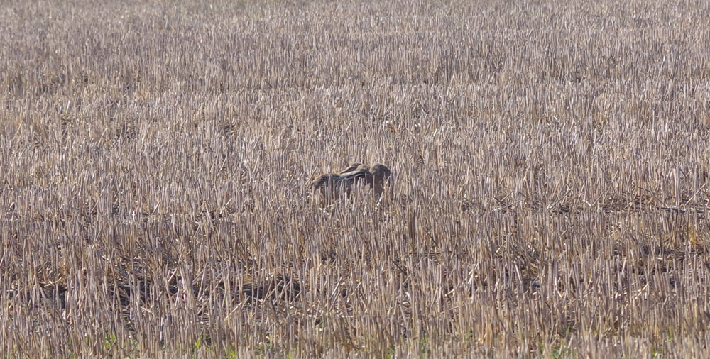 Spring - Hare camouflaged in stubble ws