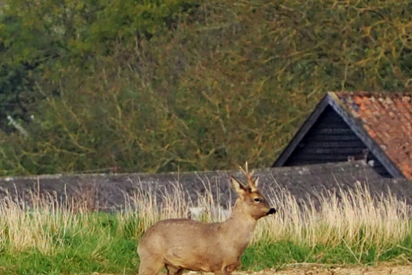 Roe stag - 26th April