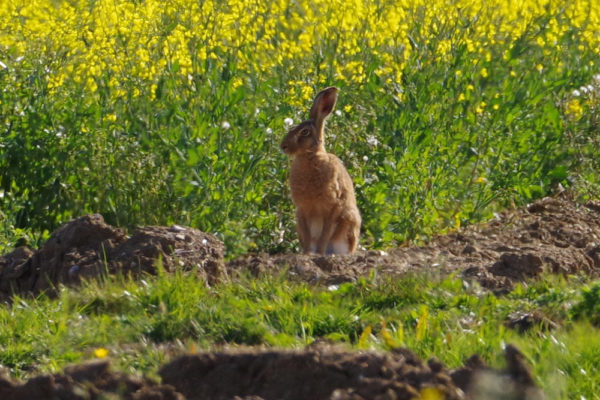 Brown Hare Botesdale Common 17th May