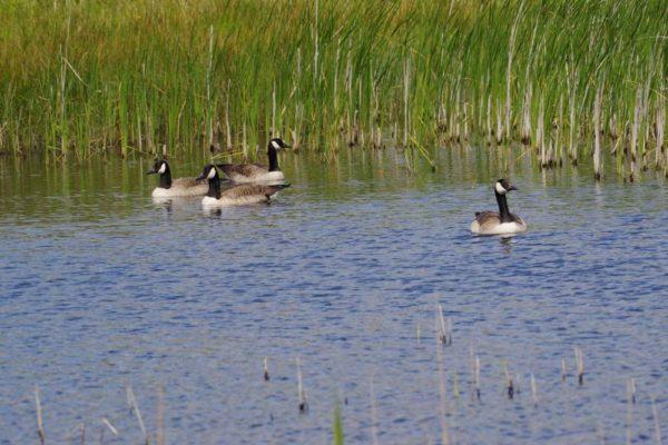 Canada geese Lopham Fen