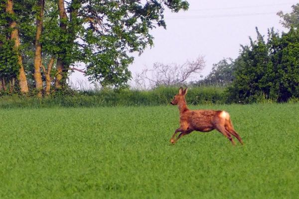 Pregnant  droe doe - 10th May