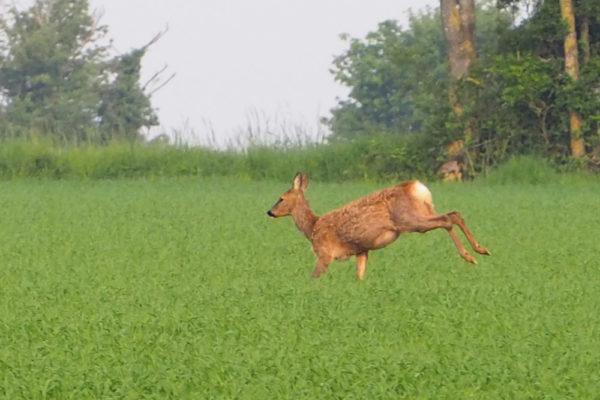 Pregnant doe roe - 10th May
