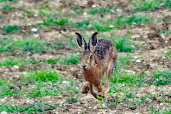 Early May Hares f ws
