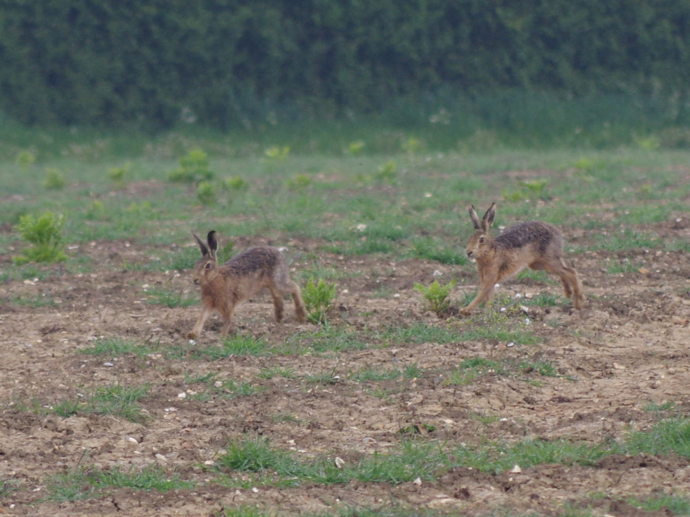Early May Hares ws
