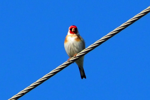 Goldfinch 31st May