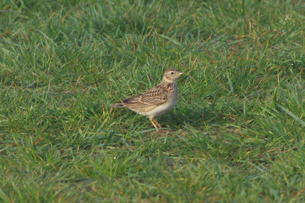 Grounded Skylark - creating a distraction