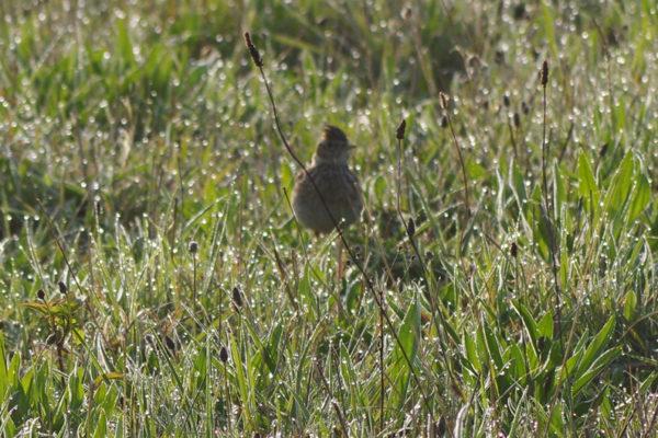 Grounded Skylark  - 6th May