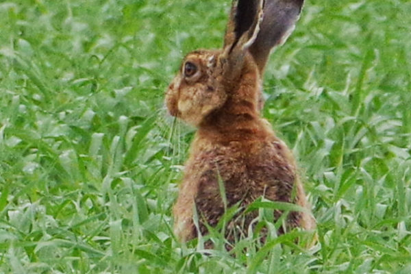 Hare 16th May c ws