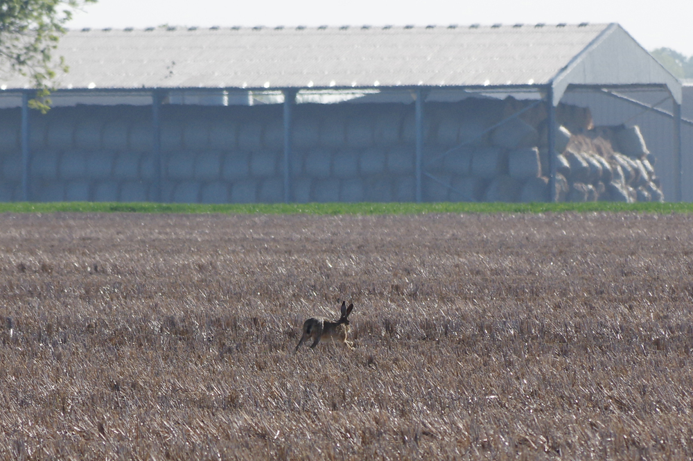 Hare in the stubble - May 6th