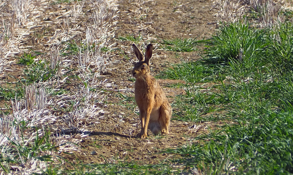 Brown Hare - raised rear hind leg 31st May