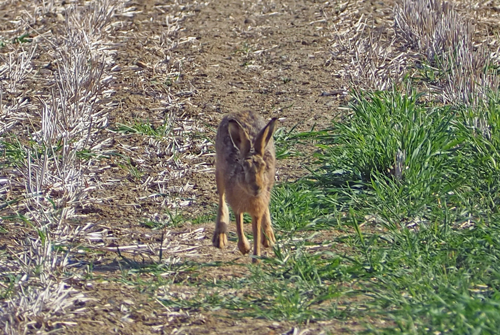 Brown Hare 31st May