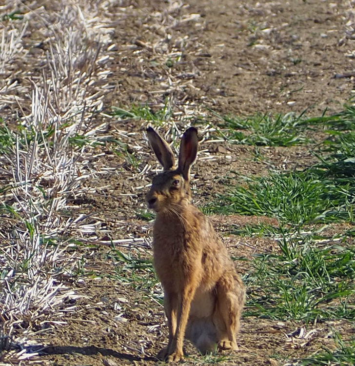 Brown Hare - raised leg 31st May