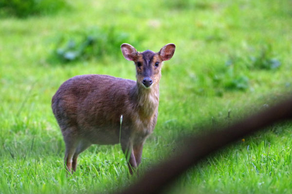 Muntjac adult female 13th May