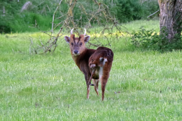 Muntjac male with withered leg