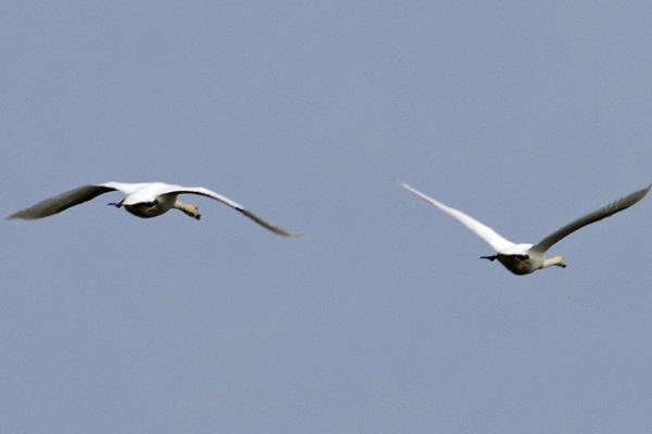Mute Swans 16th May
