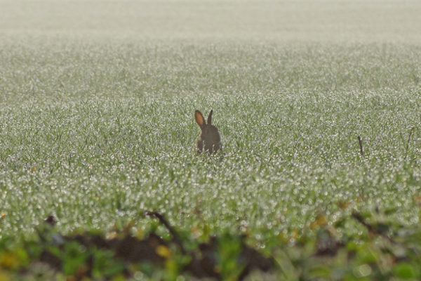 Rabbit in the dew
