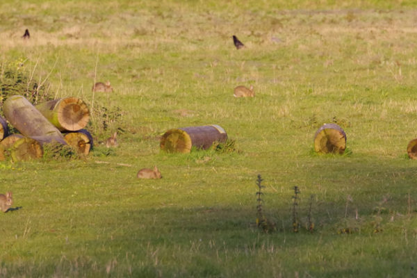 Rabbits feeding meadow 13th May
