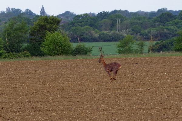 Roe deer 12th May