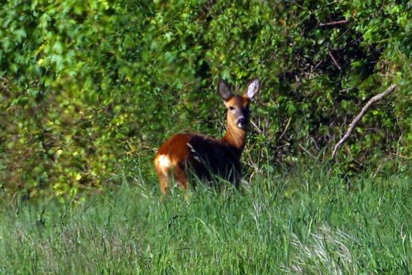 Roe deer 14th May ws