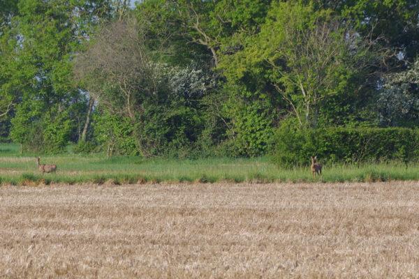 Roe deer 9th May