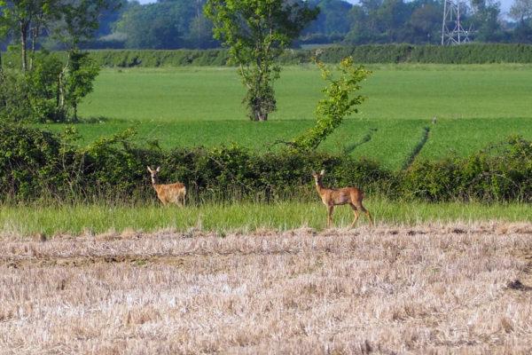Roe doe & yearling