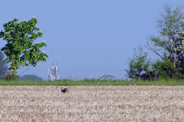 Stubble hares 9th May