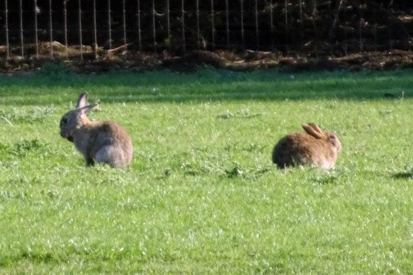 Suffolk wildlife - rabbits