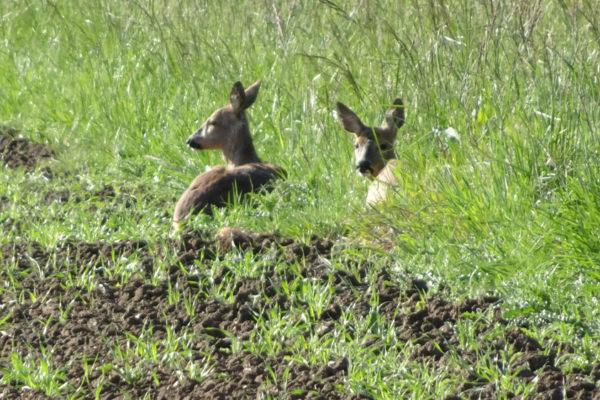 Suffolk wildlife - roe deer at rest