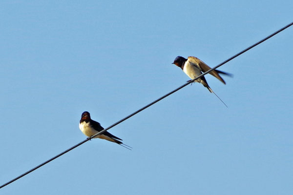 Swallows 9th May