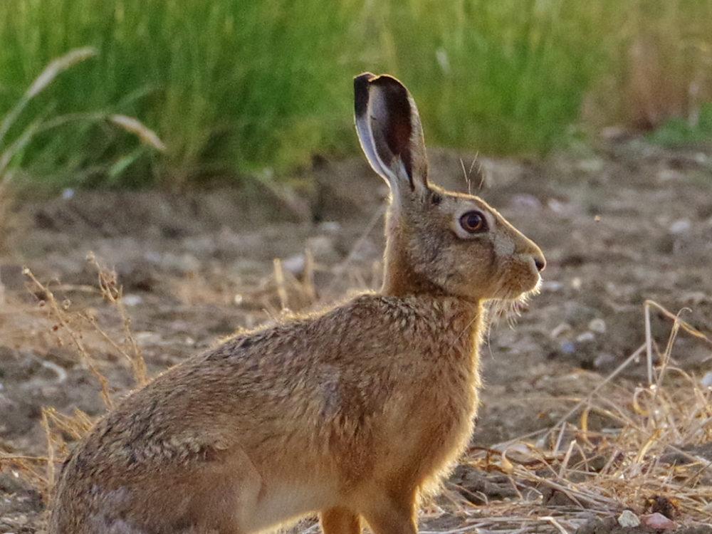 Hare b 26th June ed ws
