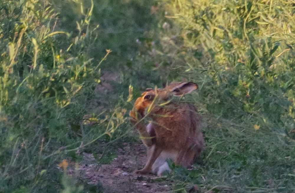 Hare grooming PM 24th June