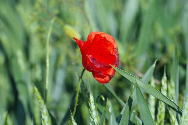 Poppy & wheat a ws