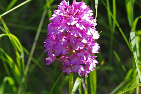 Pyramid Orchid b ws