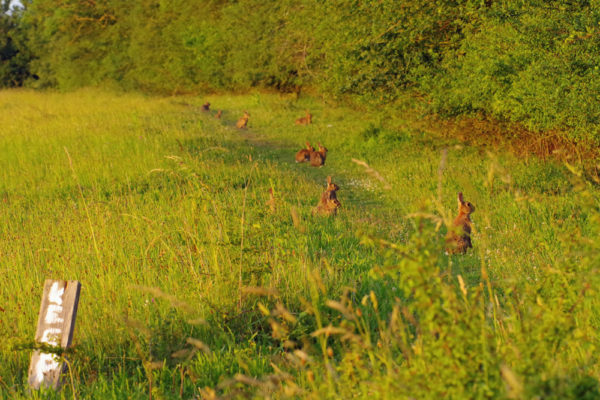 Rabbits 26th June PM ws