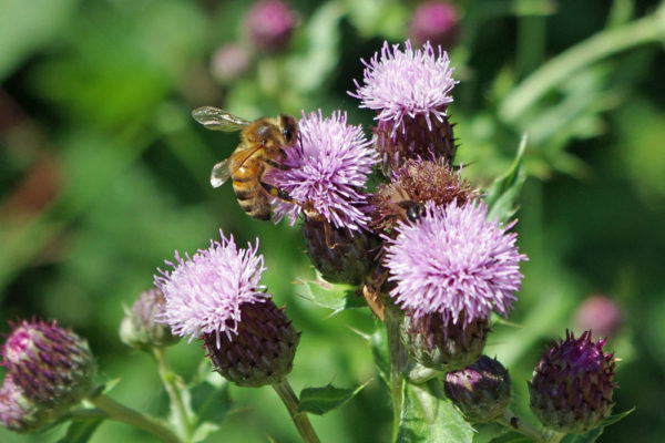 Thistle & bee ws