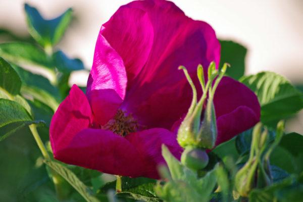Wild rose ws