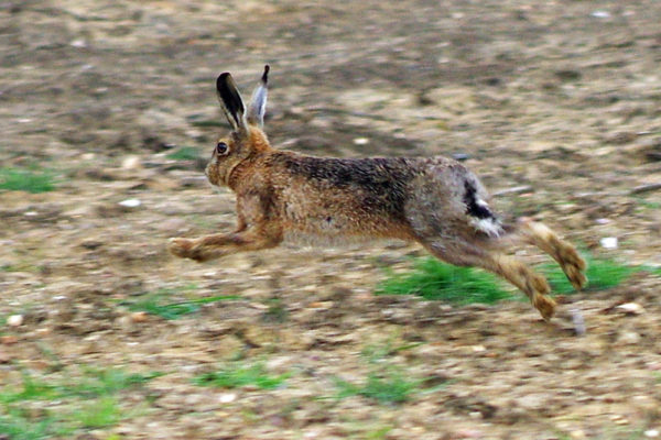 Early May Hares L five star ed ws