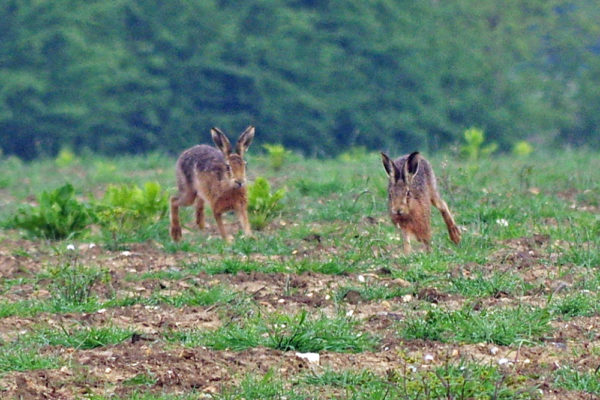 Early May Hares a five star ed ws