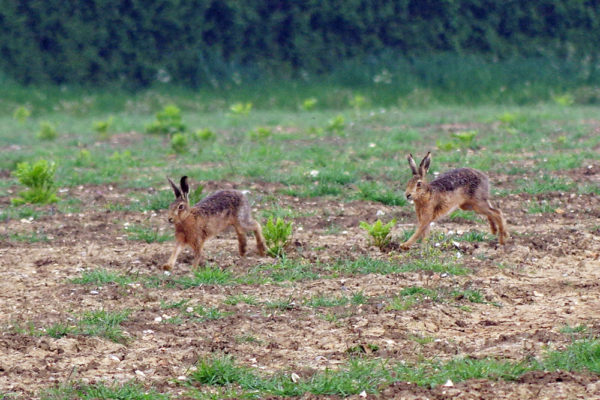Early May Hares five star ed ws