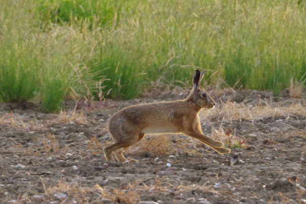 Hare 26th June c ws 5 five star