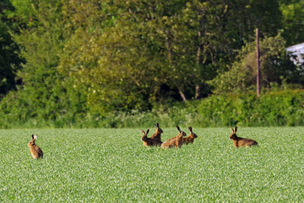 Hares 14th May b ws