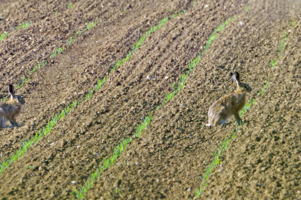 Hares 25th May b ed ws